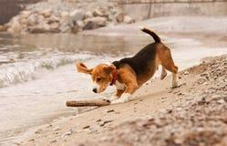 使用用棍子的小猎犬小狗 库存照片
