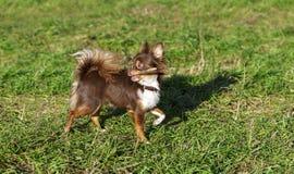 使用用棍子的明亮的巧克力奇瓦瓦狗 免版税库存图片