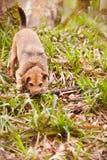 使用用棍子的狗在森林地 库存照片