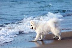 使用由海的白色狗萨莫耶特人 免版税库存图片