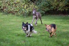 使用的狗跑和 图库摄影
