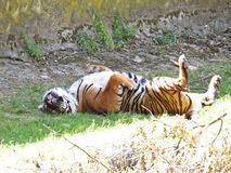 使用老虎的逗人喜爱的危险美丽的可爱的照片掩藏说谎和在树荫 免版税库存照片