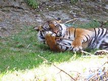 使用老虎的逗人喜爱的危险美丽的可爱的照片掩藏说谎和在树荫 库存照片