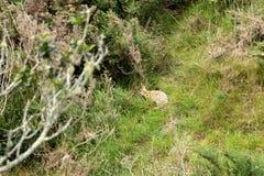 使用金雀花布什的野生兔子作为农场的家 免版税图库摄影