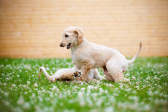 使用阿富汗猎犬的小狗户外 免版税库存照片