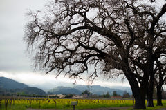 使纳帕谷葡萄园小山未加工的花春天luxuriou环境美化 图库摄影