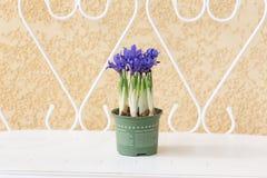 使花现虹彩在一条白色长凳的一张花盆 库存图片