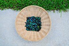 使金属木头不耐烦的甲虫 免版税库存图片