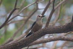 使2变冷的啄木鸟 免版税库存照片