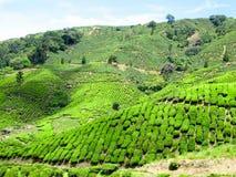 使绿茶种植园领域环境美化全景视图  库存图片
