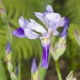 使Germanica、紫色花和芽现虹彩在词根在花圃特写镜头,选择聚焦, shalow DOF 库存照片