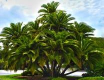 使hdr棕榈树成群 库存照片