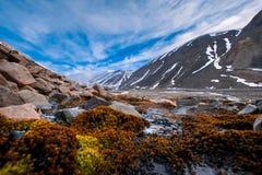 使Spitzbergen朗伊尔城斯瓦尔巴特群岛山环境美化的本质在与北极花的一极性天在夏天 库存图片