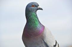侈奢的鸽子颜色 库存图片