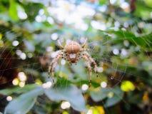 例证蜘蛛向量万维网 免版税图库摄影