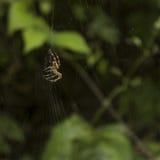 例证蜘蛛向量万维网 免版税库存图片