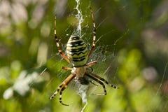 例证蜘蛛向量万维网 图库摄影