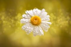 例证-延命菊-水下降- bokeh -黄色 免版税库存图片