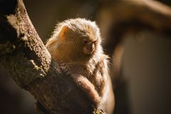 侏儒狨在世界特写镜头的最小的猴子 库存照片