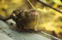 侏儒狨 免版税库存照片