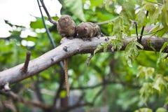 侏儒狨(Cebuella pygmaea)特写镜头 免版税图库摄影