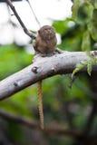 侏儒狨(Cebuella pygmaea)特写镜头 免版税库存图片