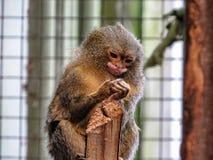 侏儒狨Cebuella pygmaea,世界` s最小的猴子, 库存图片