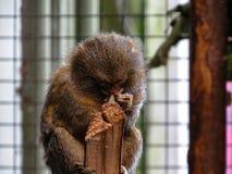 侏儒狨Cebuella pygmaea,世界` s最小的猴子, 免版税库存照片