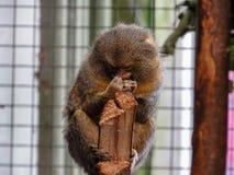侏儒狨Cebuella pygmaea,世界` s最小的猴子, 免版税库存图片