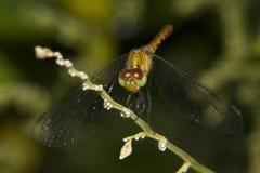侏儒Percher蜻蜓(Nannodiplax rubra) 免版税库存图片