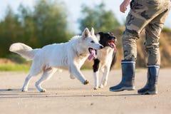 供以人员与博德牧羊犬和一只白德国牧羊犬的戏剧 库存照片