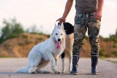 供以人员与博德牧羊犬和一只白德国牧羊犬的戏剧 免版税库存图片