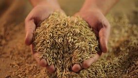 供以人员拿着极少数精选的燕麦五谷,有机燕麦粥生产,农业 影视素材