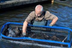 供以人员设法在渔场抓鱼 免版税库存照片