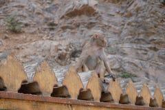 供以座位很凉快在他的墙壁的猴子,拉贾斯坦,印度 免版税库存图片