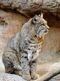 供以座位的美洲野猫充分的外形  免版税库存图片