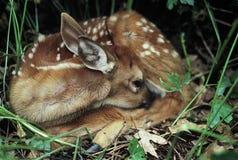 供住宿在白尾鹿小鹿下 免版税库存图片
