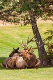 供住宿的公牛麋Bugling 免版税图库摄影
