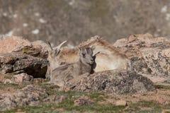 供住宿的大角野绵羊母羊和羊羔 免版税图库摄影
