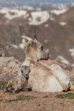 供住宿的大角野绵羊母羊和羊羔 库存照片