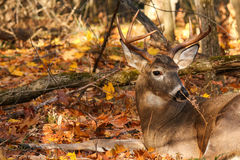 供住宿的白尾鹿大型装配架 图库摄影