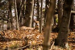 供住宿的白尾鹿母鹿 库存图片