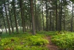 供徒步旅行的小道在杉木森林里 图库摄影