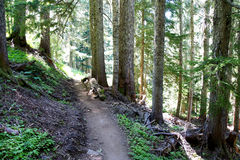 供徒步旅行的小道通过针叶树森林 免版税库存照片