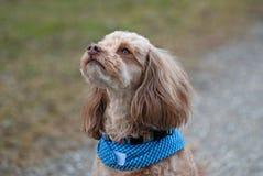 供玩赏用的小狗 免版税图库摄影