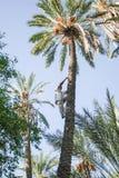 供以人员上升在枣椰子树在绿洲 免版税库存图片