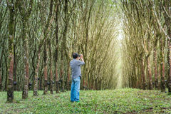 供以人员在三叶橡胶树,泰国行的射击  库存照片