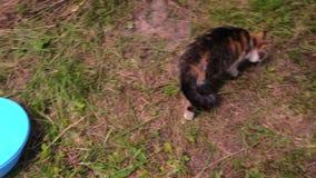 供以人员在碗,与爪的猫抓住的被投入的crucian fisch并且吃 免版税库存照片