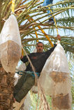 供以人员在El Goula,突尼斯的丰收日 库存图片