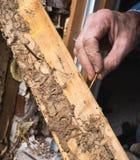 供以人员实况显示白蚁和木头损伤的手 免版税库存图片